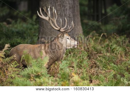 Majestic Powerful Red Deer Stag Cervus Elaphus In Forest Landscape During Rut Season In Autumn Fall