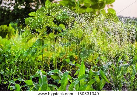Watering the garden using a sprinkler. Background with limited depth of field.