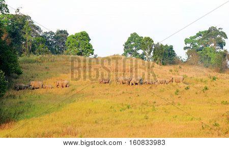 Herd of elephants in khaoyai national parkThailand.