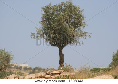 Olive Tree Against The Blue Sky