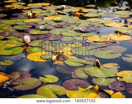 Lilypads and pool at Bodnant Gardens Gwynedd Wales near Llandudno captured in October.