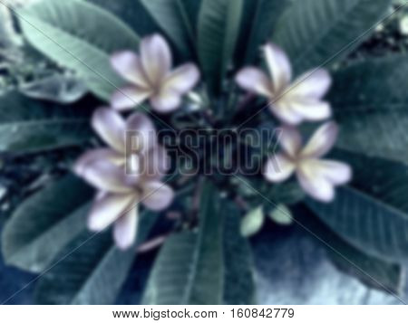 Frangipani flower blurry background. Tropical nature blurred photo for wedding card or banner template. Gentle flower blooming on tree. Green leaves and white flowers of plumeria. Asian botany in blur