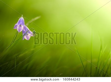 Beautiful Bluebell (Harebell) Flowers With Soft Focus Sunlit Grassy Background With Copyspace