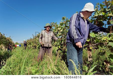 TELAVI PROVINCE, GEORGIA - OCT 2, 2016: Farmers working in vineyard during harvest time at the green grape valley on October 2, 2016. Telavi of Kakheti has a population 22000