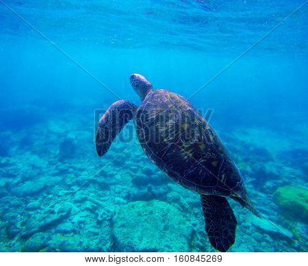 Sea turtle in blue water by coral reef Philippines Apo island. Big turtle swimming in ocean. Green sea tortoise