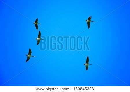 Canada geese (branta canadensis) flying directly overhead in a blue sky.