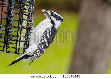 Downy woodpecker (picoides pubescens) grasping on a suet feeder with food in its beak.