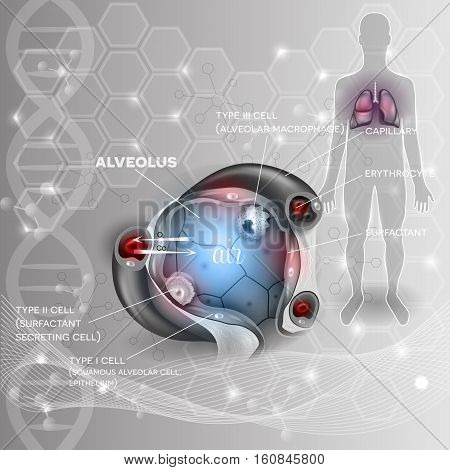 Lungs and alveolus abstract scientific background human silhouette closeup detailed anatomy oxygen and carbon dioxide exchange between alveoli and capillaries external respiration mechanism.
