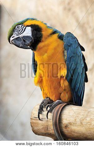 Blue and yellow macaw Ara ararauna at bird souq in Doha, Qatar.