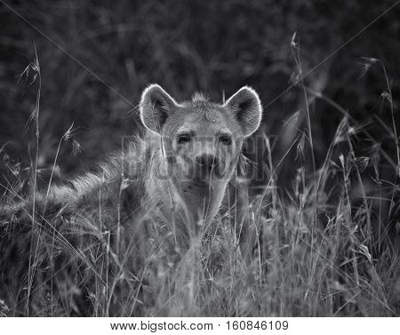 hyena in national park in Tanzania, Africa