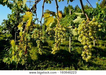 Unripe Grape Bunches