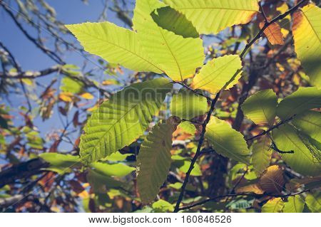chestnut leaves on high sun background on autumn
