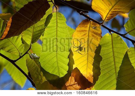 chestnut leaves on high sun background with spider