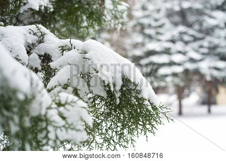 Branches Of Thuja Covered With Snow. Blurred Background