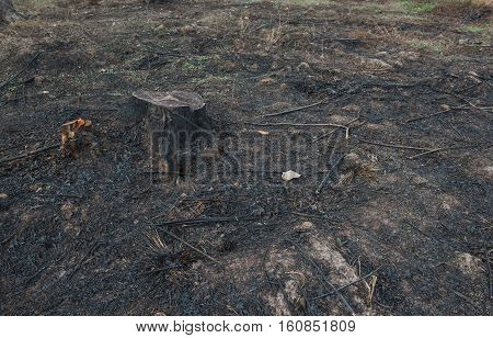 old Tree Stumps caused by deforestation  and burn.