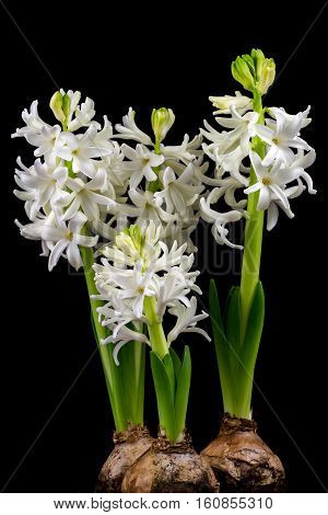 Close-up of white pearl hyacinth flowers. Photography of nature.