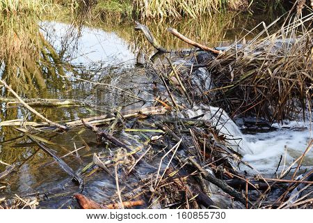 Beaver's dam  from lots of sticks and mud.