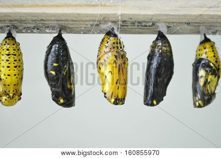 Golden cocoons of the butterflies in the greenhouse