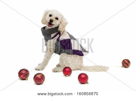 Cute Little White Poodle In Dog Clothes With Christmas Balls