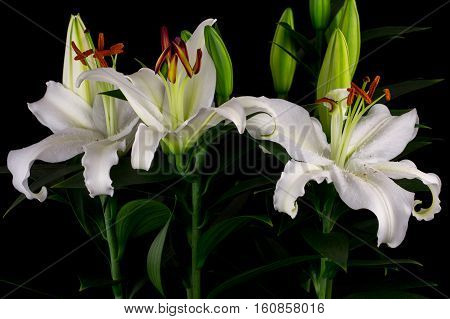 Close-up of white lily flowers. Zen in the art of flowers. Macro photography of nature.