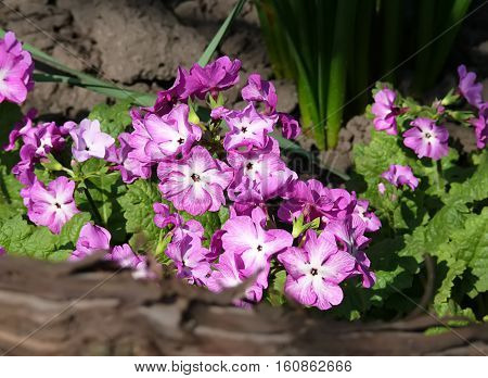 primrose was called the flower of the twelve gods of Olympus and believed in its healing properties