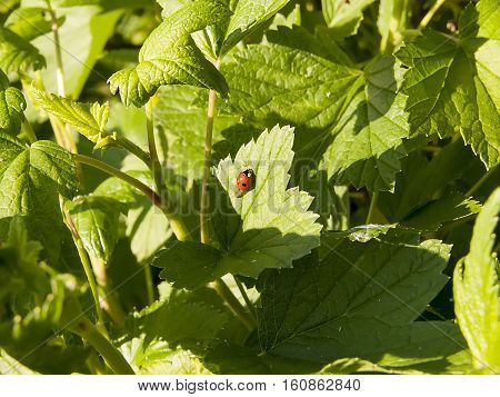 Beautiful ladybug on green grass. Nature background. ladybug on a leaf