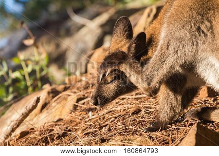 Wallaby scratching its head with closed eyes in natural background