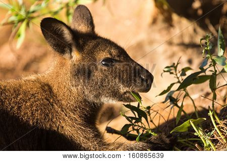 A wallaby eating green leaves in the sunlight