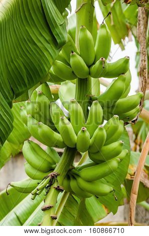 Green organic banana bunch on the tree tropical climate fruit