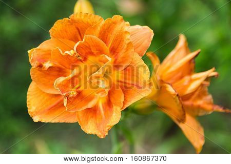 A Large flower of a terry orange daylily