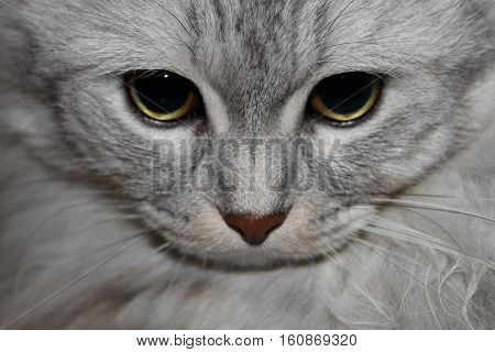 A cute gray cat gazing at the camera.