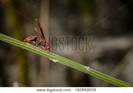 Red paper wasp hornet polistes carolina perplexus single closeup macro