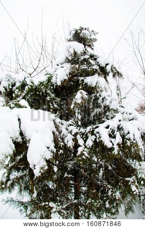 Thuja tree in a park on winter