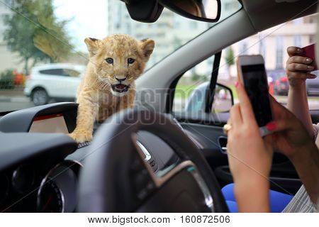 Women shoot funny lion calf which sits on dashboard in car, focus on animal