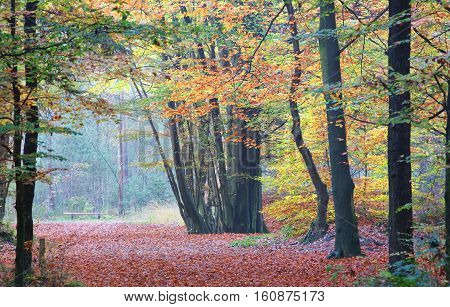 walk path in orange autumn beech forest
