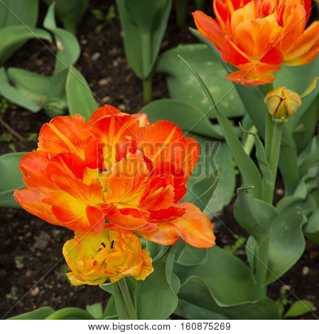 Amazing Double Petal Orange and Yellow Variegated Tulips Flowers Growing in Decorative Flowerbed Outdoor Park of Spring Time Close up