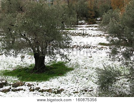 An olive tree grove in white after snowfall.