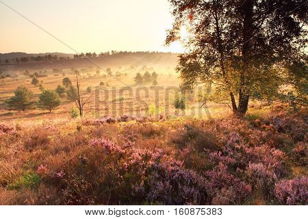 bright golden sunrise over hills with heather flower Germany