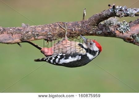 Middle Spotted Woodpecker Perched.