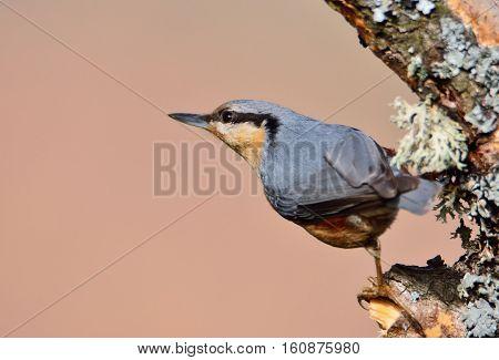 Eurasian Nuthatch Perching.