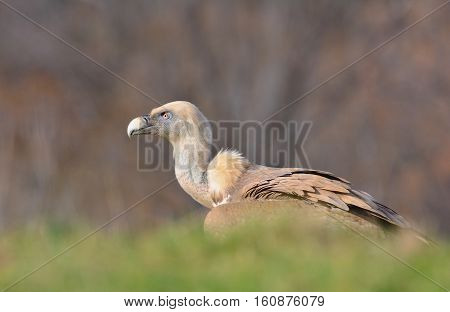 Griffon vulture in the meadow of Leon in Spain