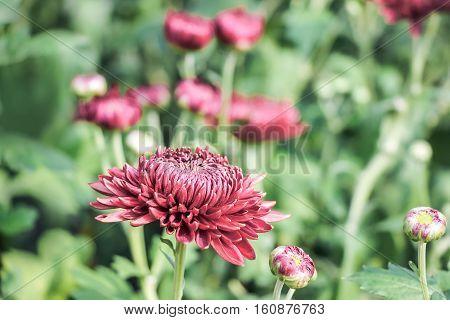 blooming red chrysanthemum flowers with green leaves