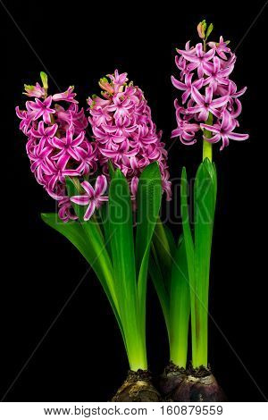 Close-up of pink pearl hyacinth flowers. Photography of nature.
