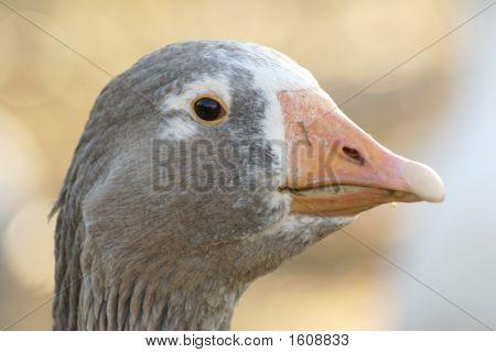 Curiose Goose