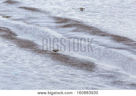 Masked lapwing foraging during low tide in the Tamar river