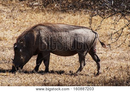 an old warthog graze on the African savanna in South Africa