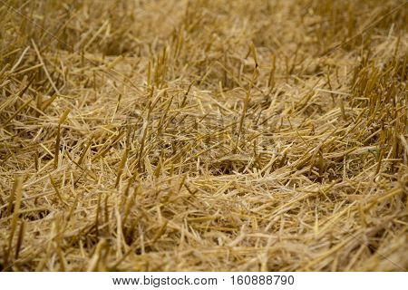 Stubble Field After Harvest