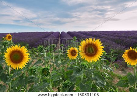 Sunflower and Lavender flowers field at summer sunsrise, Provence, France