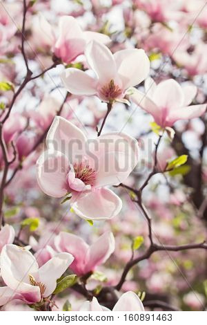 Beautiful blossoming magnolia tree in spring garden