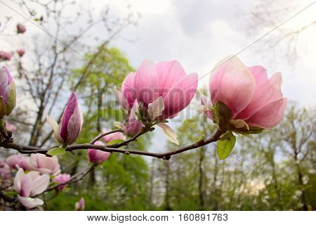 A pair of magnolia flowers of in spring park